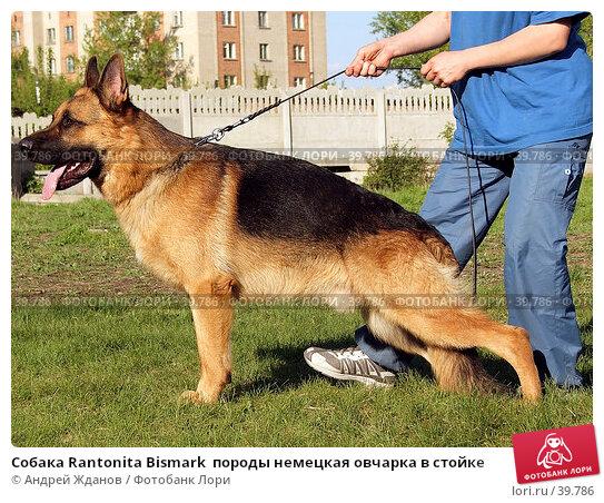 Собака Rantonita Bismark  породы немецкая овчарка в стойке, фото № 39786, снято 1 мая 2007 г. (c) Андрей Жданов / Фотобанк Лори