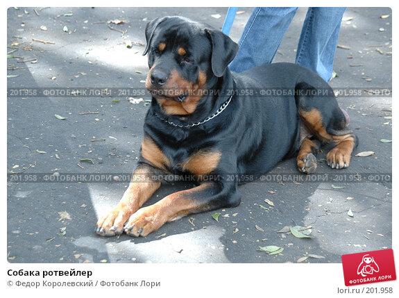 Собака ротвейлер, фото № 201958, снято 17 июля 2005 г. (c) Федор Королевский / Фотобанк Лори