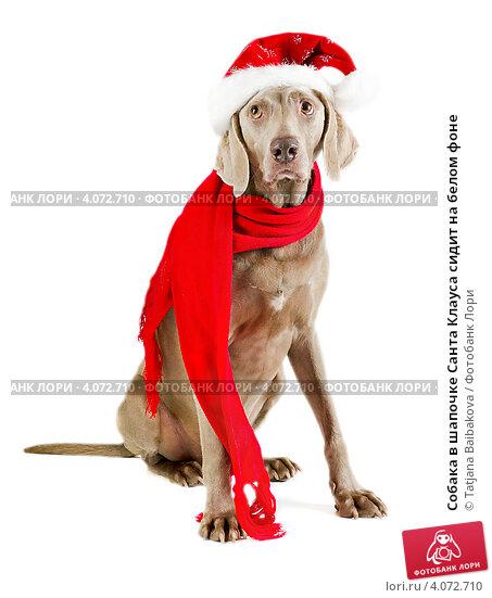 Собака в шапочке Санта Клауса сидит на белом фоне. Стоковое фото, фотограф Tatjana Baibakova / Фотобанк Лори