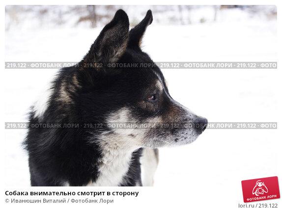 Собака внимательно смотрит в сторону, фото № 219122, снято 24 февраля 2008 г. (c) Иванюшин Виталий / Фотобанк Лори