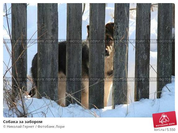 Купить «Собака за забором», фото № 5550, снято 25 февраля 2006 г. (c) Николай Гернет / Фотобанк Лори