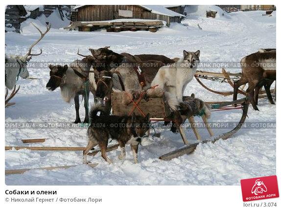 Собаки и олени, фото № 3074, снято 25 марта 2006 г. (c) Николай Гернет / Фотобанк Лори