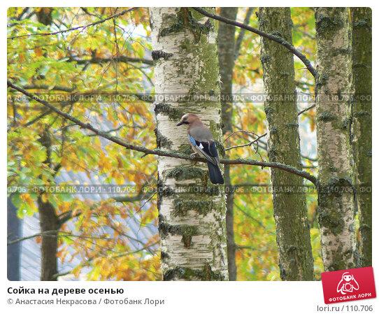 Сойка на дереве осенью, фото № 110706, снято 30 сентября 2007 г. (c) Анастасия Некрасова / Фотобанк Лори