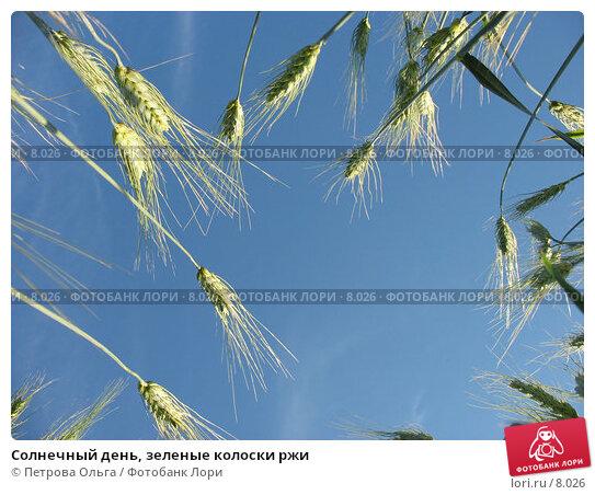 Солнечный день, зеленые колоски ржи, фото № 8026, снято 7 июля 2006 г. (c) Петрова Ольга / Фотобанк Лори