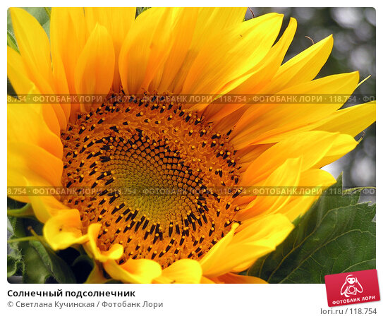 Солнечный подсолнечник, фото № 118754, снято 25 марта 2017 г. (c) Светлана Кучинская / Фотобанк Лори