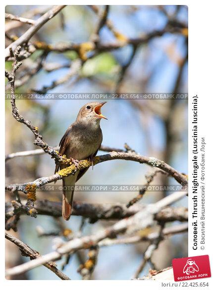 Купить «Соловей. Thrush Nightingale (Luscinia luscinia).», фото № 22425654, снято 11 мая 2013 г. (c) Василий Вишневский / Фотобанк Лори