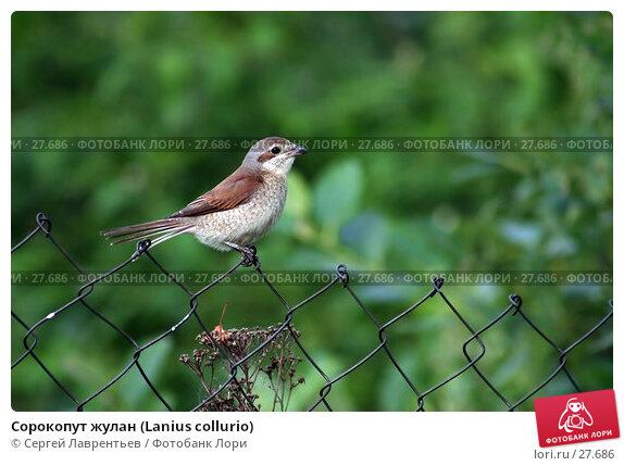 Сорокопут жулан (Lanius collurio), фото № 27686, снято 15 июля 2004 г. (c) Сергей Лаврентьев / Фотобанк Лори