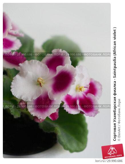 Купить «Сортовая Узамбарская фиалка - Saintpaulia (African violet )», фото № 29990686, снято 5 июля 2020 г. (c) ElenArt / Фотобанк Лори