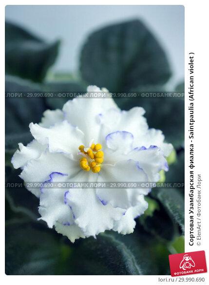 Купить «Сортовая Узамбарская фиалка - Saintpaulia (African violet )», фото № 29990690, снято 4 июля 2020 г. (c) ElenArt / Фотобанк Лори