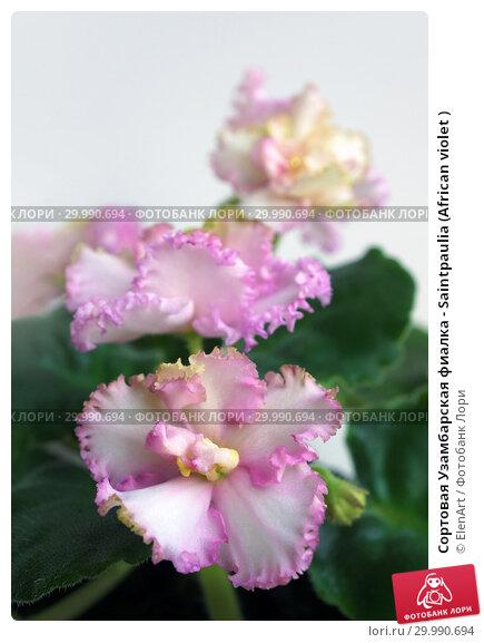 Купить «Сортовая Узамбарская фиалка - Saintpaulia (African violet )», фото № 29990694, снято 11 июля 2020 г. (c) ElenArt / Фотобанк Лори