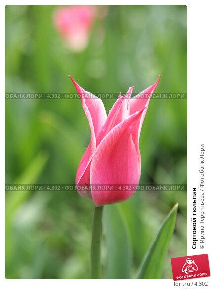 Сортовой тюльпан, эксклюзивное фото № 4302, снято 29 мая 2006 г. (c) Ирина Терентьева / Фотобанк Лори