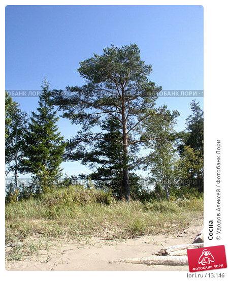 Купить «Сосна», фото № 13146, снято 20 августа 2005 г. (c) Удодов Алексей / Фотобанк Лори