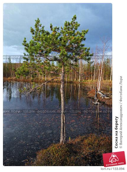 Купить «Сосна на берегу», фото № 133094, снято 3 октября 2007 г. (c) Валерий Александрович / Фотобанк Лори