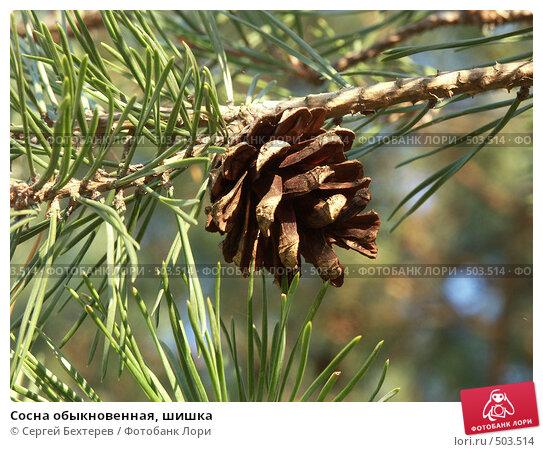 Сосна обыкновенная, шишка, фото № 503514, снято 16 октября 2004 г. (c) Сергей Бехтерев / Фотобанк Лори