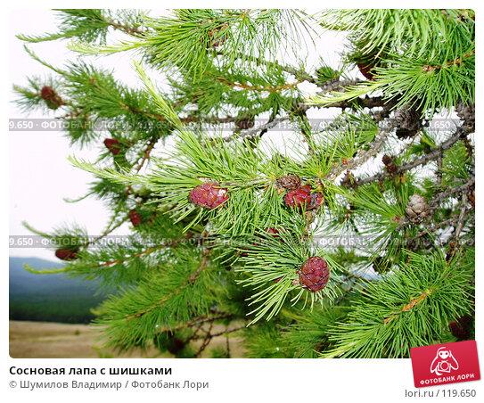 Сосновая лапа с шишками, фото № 119650, снято 29 июня 2005 г. (c) Шумилов Владимир / Фотобанк Лори