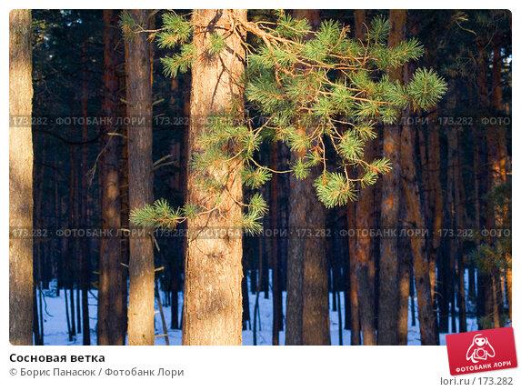 Сосновая ветка, фото № 173282, снято 2 января 2008 г. (c) Борис Панасюк / Фотобанк Лори