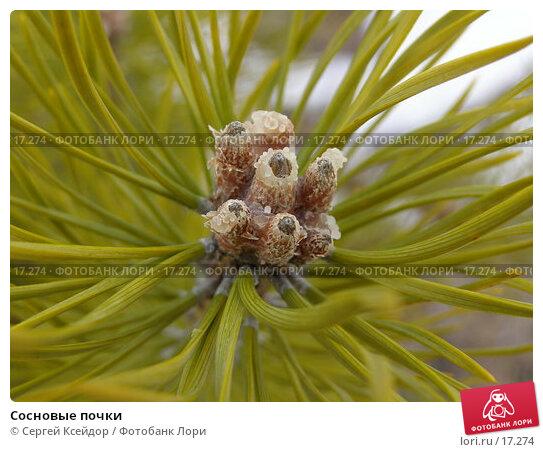 Купить «Сосновые почки», фото № 17274, снято 15 апреля 2006 г. (c) Сергей Ксейдор / Фотобанк Лори