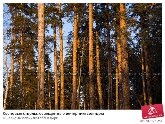 Сосновые стволы, освещенные вечерним солнцем, фото № 173254, снято 2 января 2008 г. (c) Борис Панасюк / Фотобанк Лори