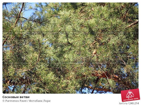Купить «Сосновые ветви», фото № 240214, снято 30 марта 2008 г. (c) Parmenov Pavel / Фотобанк Лори