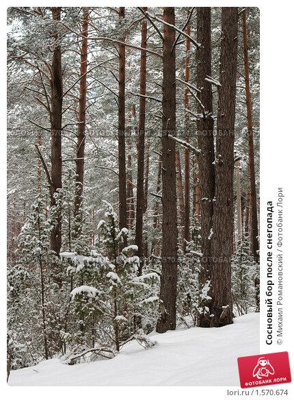 Купить «Сосновый бор после снегопада», фото № 1570674, снято 18 марта 2010 г. (c) Михаил Романовский / Фотобанк Лори