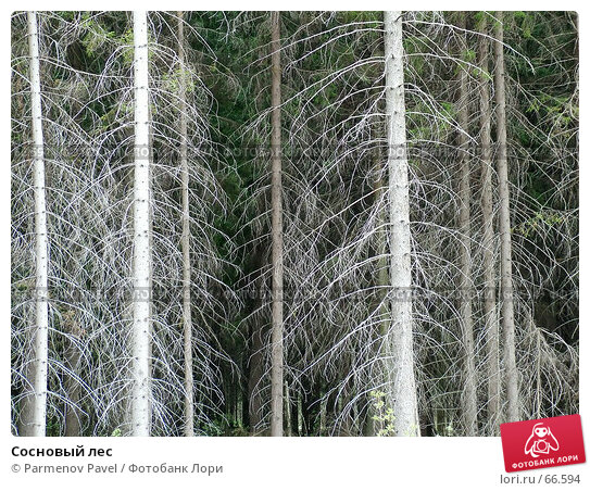 Сосновый лес, фото № 66594, снято 8 мая 2005 г. (c) Parmenov Pavel / Фотобанк Лори