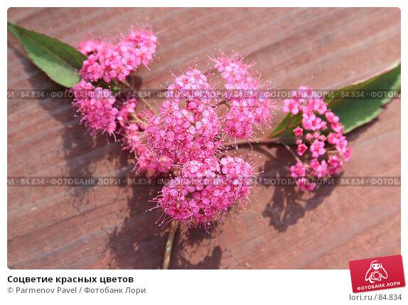 Купить «Соцветие красных цветов», фото № 84834, снято 11 сентября 2007 г. (c) Parmenov Pavel / Фотобанк Лори
