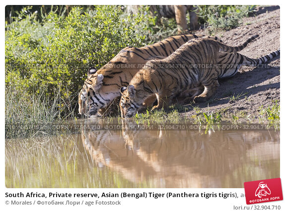 South Africa, Private reserve, Asian (Bengal) Tiger (Panthera tigris tigris), aduult female with youngs 6 month old. Стоковое фото, фотограф Morales / age Fotostock / Фотобанк Лори