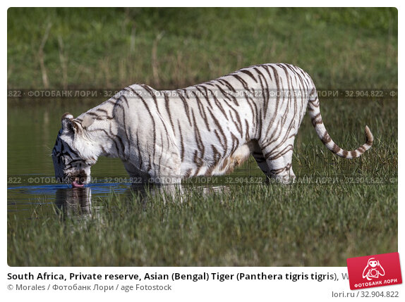 South Africa, Private reserve, Asian (Bengal) Tiger (Panthera tigris tigris), White tiger, adult female drinking in a swamp. Стоковое фото, фотограф Morales / age Fotostock / Фотобанк Лори