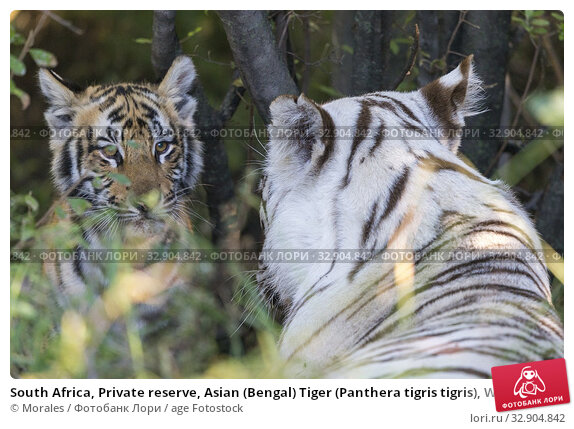 South Africa, Private reserve, Asian (Bengal) Tiger (Panthera tigris tigris), White tiger, Adult female white with an adult male ( regular in color). Стоковое фото, фотограф Morales / age Fotostock / Фотобанк Лори