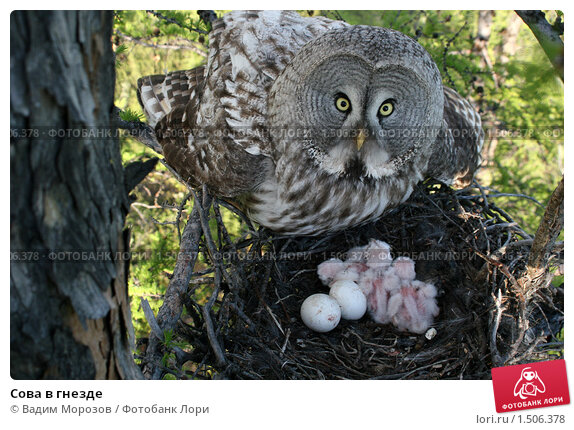 Купить «Сова в гнезде», фото № 1506378, снято 14 июня 2009 г. (c) Вадим Морозов / Фотобанк Лори
