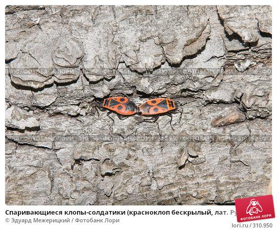 Спаривающиеся клопы-солдатики (красноклоп бескрылый, лат. Pyrrhocoris apterus), фото № 310950, снято 12 мая 2008 г. (c) Эдуард Межерицкий / Фотобанк Лори