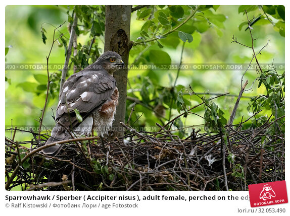 Sparrowhawk / Sperber ( Accipiter nisus ), adult female, perched on the edge of its eyrie, watching over its shoulder, backside view. Стоковое фото, фотограф Ralf Kistowski / age Fotostock / Фотобанк Лори