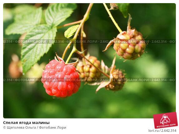 Купить «Спелая ягода малины», эксклюзивное фото № 2642314, снято 3 июля 2011 г. (c) Щеголева Ольга / Фотобанк Лори