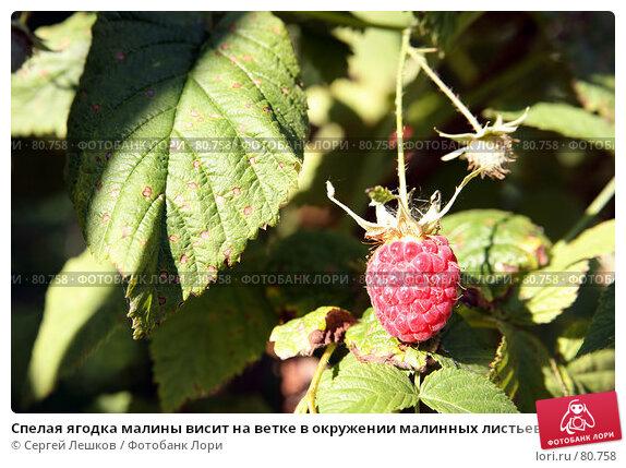 Спелая ягодка малины висит на ветке в окружении малинных листьев, фото № 80758, снято 22 июля 2007 г. (c) Сергей Лешков / Фотобанк Лори