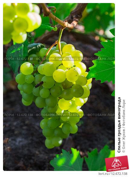 Купить «Спелые гроздья винограда», фото № 12672138, снято 28 августа 2015 г. (c) Олег Жуков / Фотобанк Лори