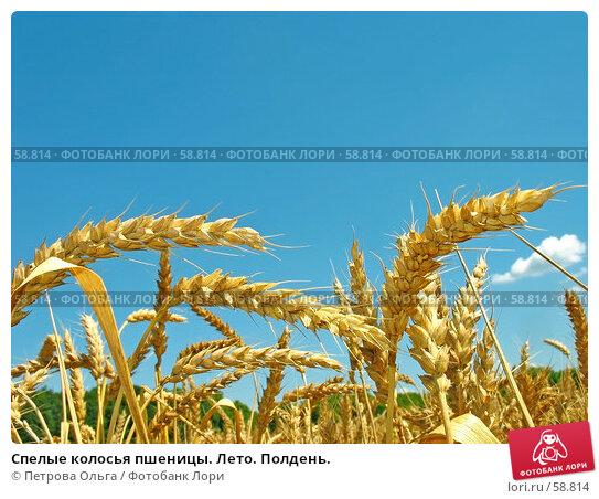 Спелые колосья пшеницы. Лето. Полдень., фото № 58814, снято 2 июля 2007 г. (c) Петрова Ольга / Фотобанк Лори