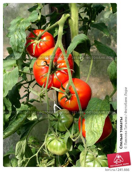 Купить «Спелые томаты», фото № 241666, снято 24 августа 2007 г. (c) Павлова Татьяна / Фотобанк Лори