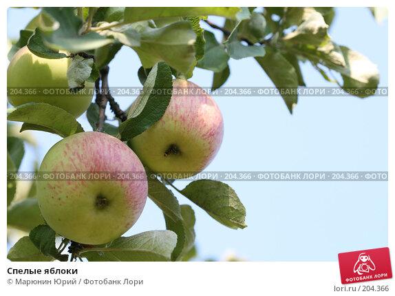 Спелые яблоки, фото № 204366, снято 17 августа 2007 г. (c) Марюнин Юрий / Фотобанк Лори