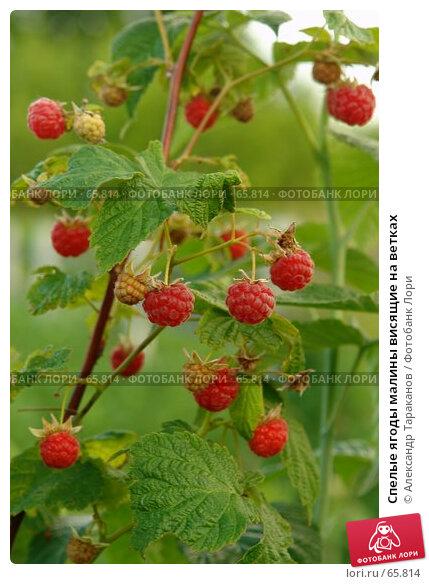 Спелые ягоды малины висящие на ветках, фото № 65814, снято 26 июля 2017 г. (c) Александр Тараканов / Фотобанк Лори