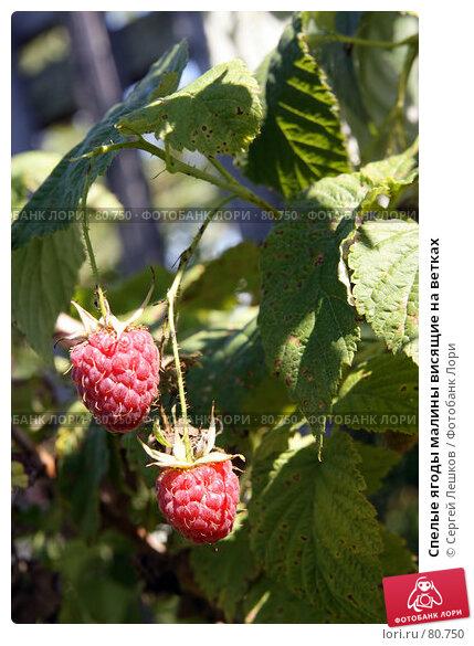 Спелые ягоды малины висящие на ветках, фото № 80750, снято 28 июля 2007 г. (c) Сергей Лешков / Фотобанк Лори