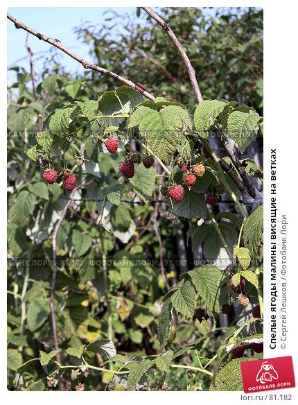 Спелые ягоды малины висящие на ветках, фото № 81182, снято 15 декабря 2007 г. (c) Сергей Лешков / Фотобанк Лори