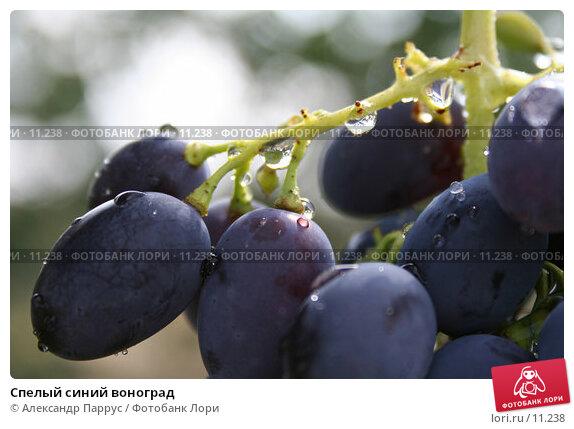 Спелый синий воноград, фото № 11238, снято 20 августа 2006 г. (c) Александр Паррус / Фотобанк Лори