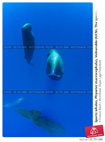 Sperm whales, Physeter macrocephalus, Vulnerable (IUCN). The sperm... Стоковое фото, фотограф Franco Banfi / age Fotostock / Фотобанк Лори