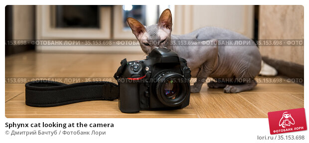 Sphynx cat looking at the camera. Стоковое фото, фотограф Дмитрий Бачтуб / Фотобанк Лори