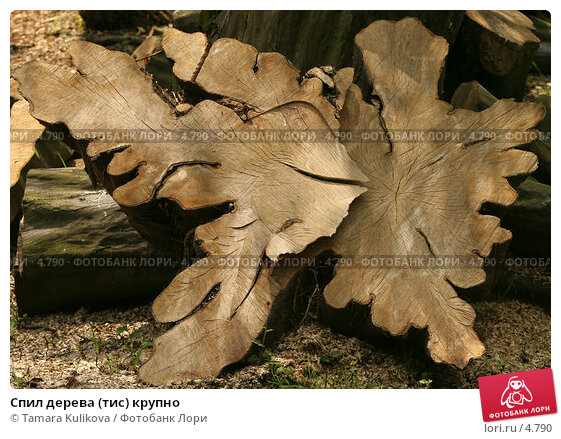 Спил дерева (тис) крупно, фото № 4790, снято 17 июня 2006 г. (c) Tamara Kulikova / Фотобанк Лори