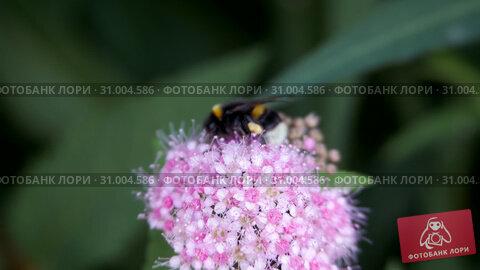 Spiraea, deciduous ornamental shrubs of the pink family. Bumblebee turns. Стоковое видео, видеограф Константин Мерцалов / Фотобанк Лори