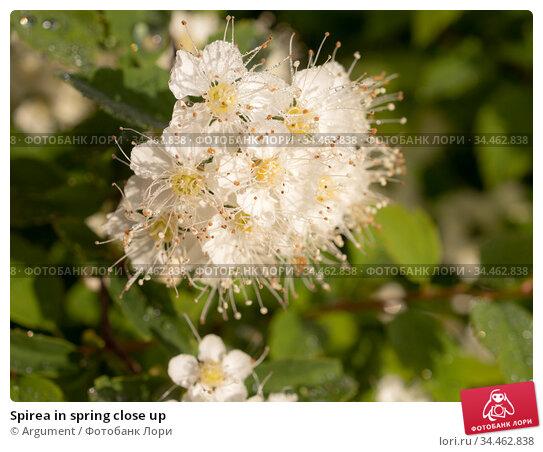 Spirea in spring close up. Стоковое фото, фотограф Argument / Фотобанк Лори