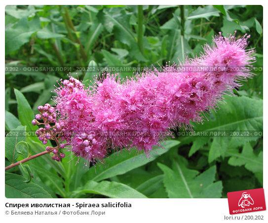Спирея иволистная - Spiraea salicifolia, фото № 200202, снято 31 июля 2007 г. (c) Беляева Наталья / Фотобанк Лори
