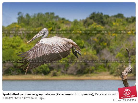 Купить «Spot-billed pelican or grey pelican (Pelecanus philippensis), Yala national patk, Sri Lanka», фото № 25906778, снято 22 апреля 2019 г. (c) BE&W Photo / Фотобанк Лори