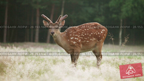 Купить «Spotted deer grazing in a forest glade early in the morning», видеоролик № 28153166, снято 12 июля 2016 г. (c) Алексей Кузнецов / Фотобанк Лори